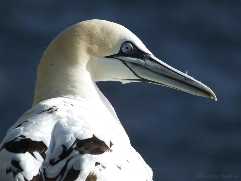 bird-gannet-1_cr